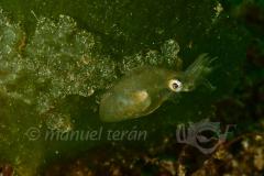 Pygmy Cuttlefish