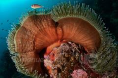 Anemona con pez payaso