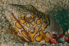 Anguila Payaso